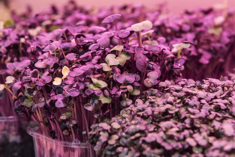 Luce artificiale per piante basi colturali per la delle mini